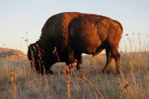 Wild Buffalo in Utah. 2012.