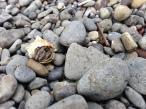 Tide Pool Hermit Crabs